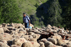 berger pastoralisme ovin brebis Roya