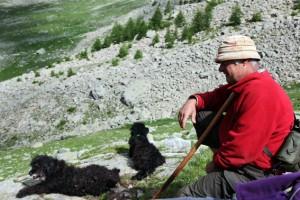 berger pastoralisme élevage brebis la Bonette Alpe transhumance