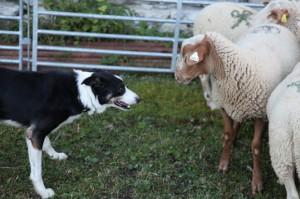 berger pastoralisme élevage