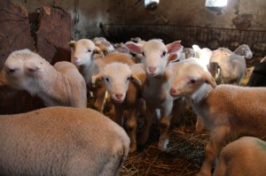 berger pastoralisme élevage Montauroux
