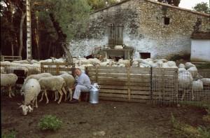 berger pastoralisme lait traite La Brigue La Roquette-sur-Siagne