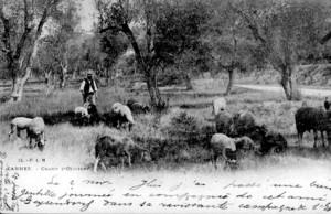 berger pastoralisme élevage Cannes oliviers